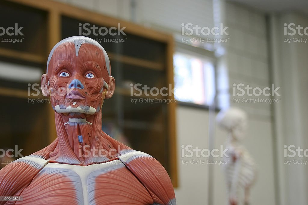 Human Head and Shoulders of an Anatomical Model. stock photo