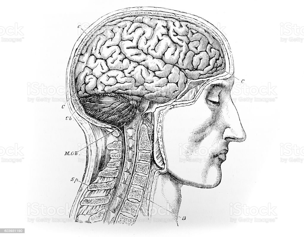 Human Head - Brain - Spine - Medical Diagram stock photo