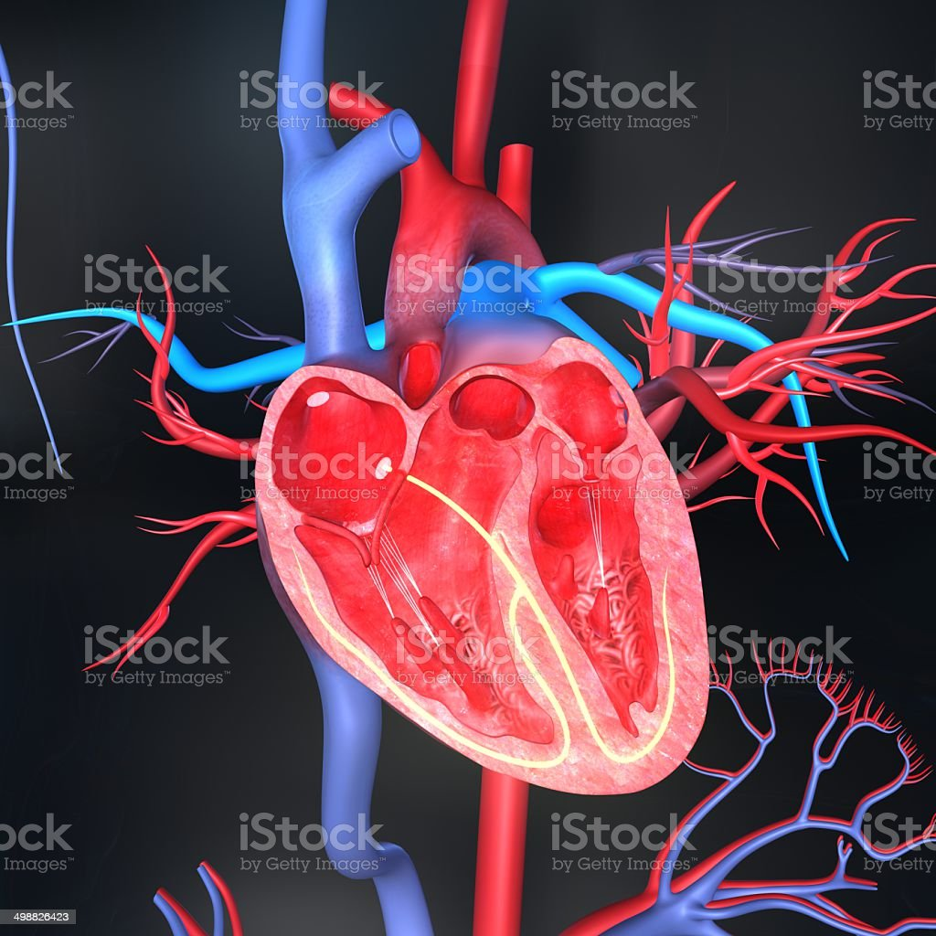 Human heart anatomy vector art illustration