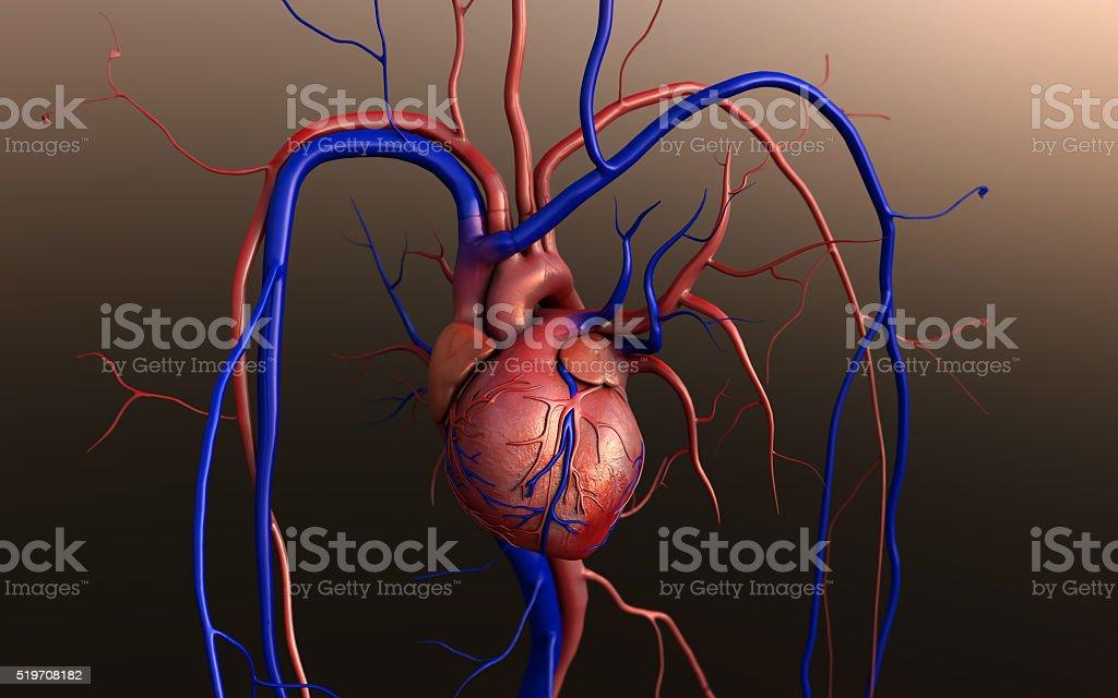Human Heart Anatomy stock photo