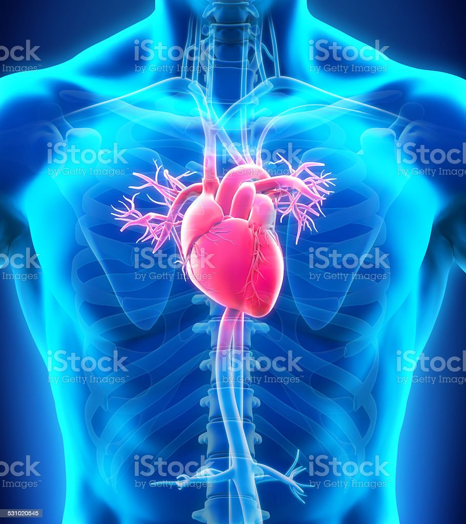 human heart pictures, images and stock photos - istock, Muscles