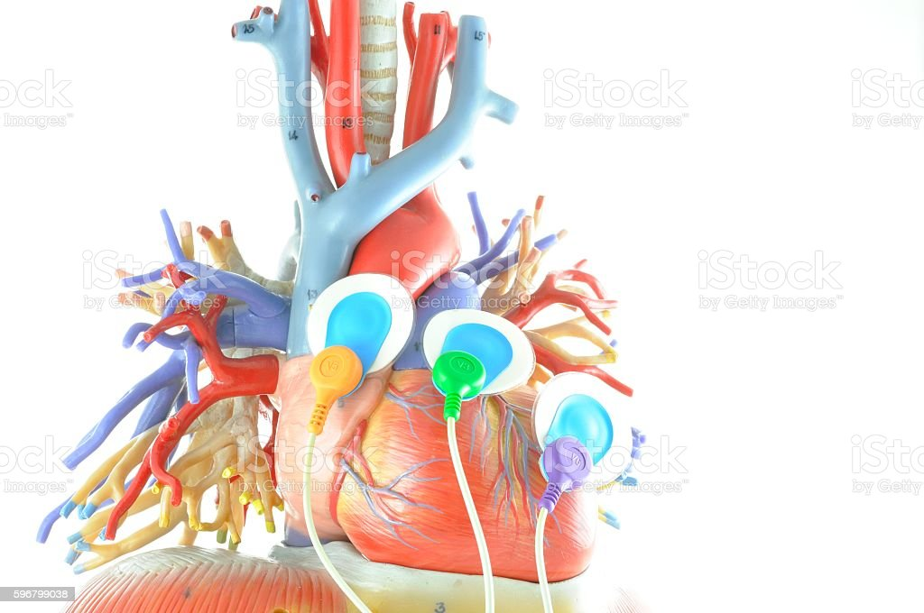 human heart and EKG electrode stock photo