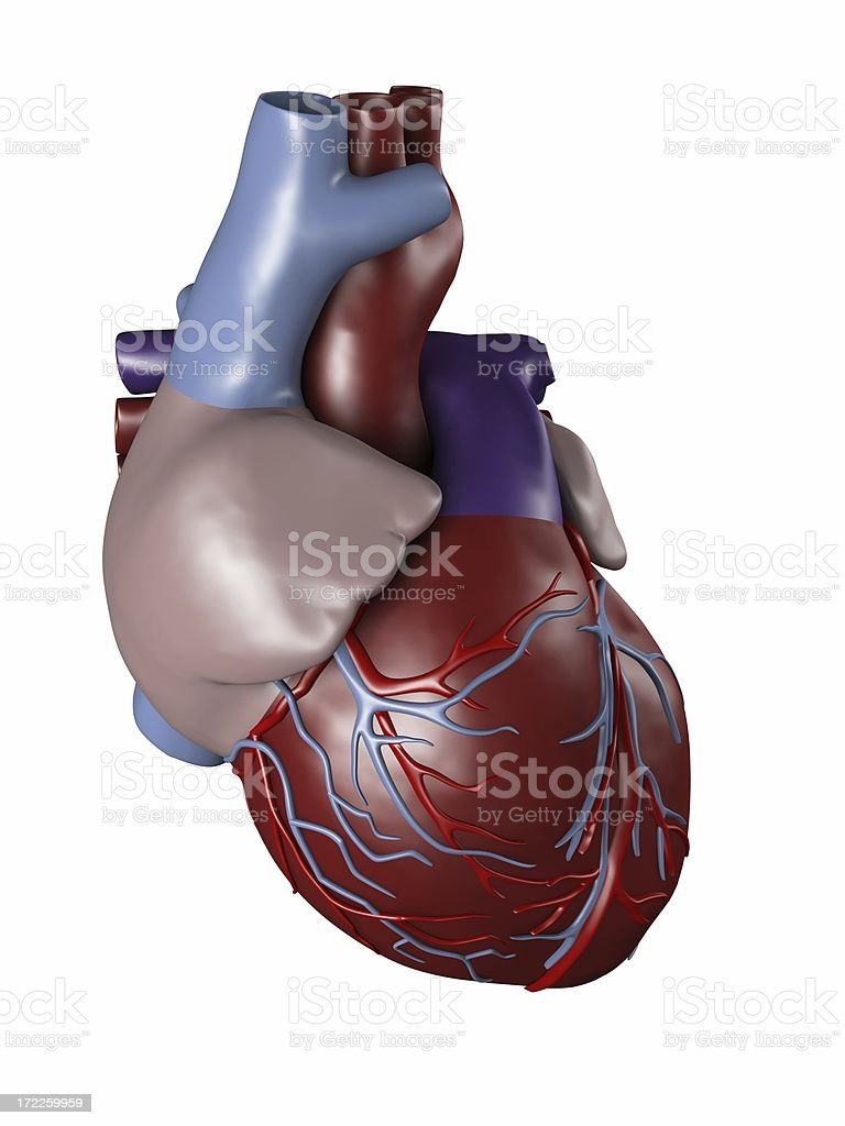 Human heart for medical study stock photo