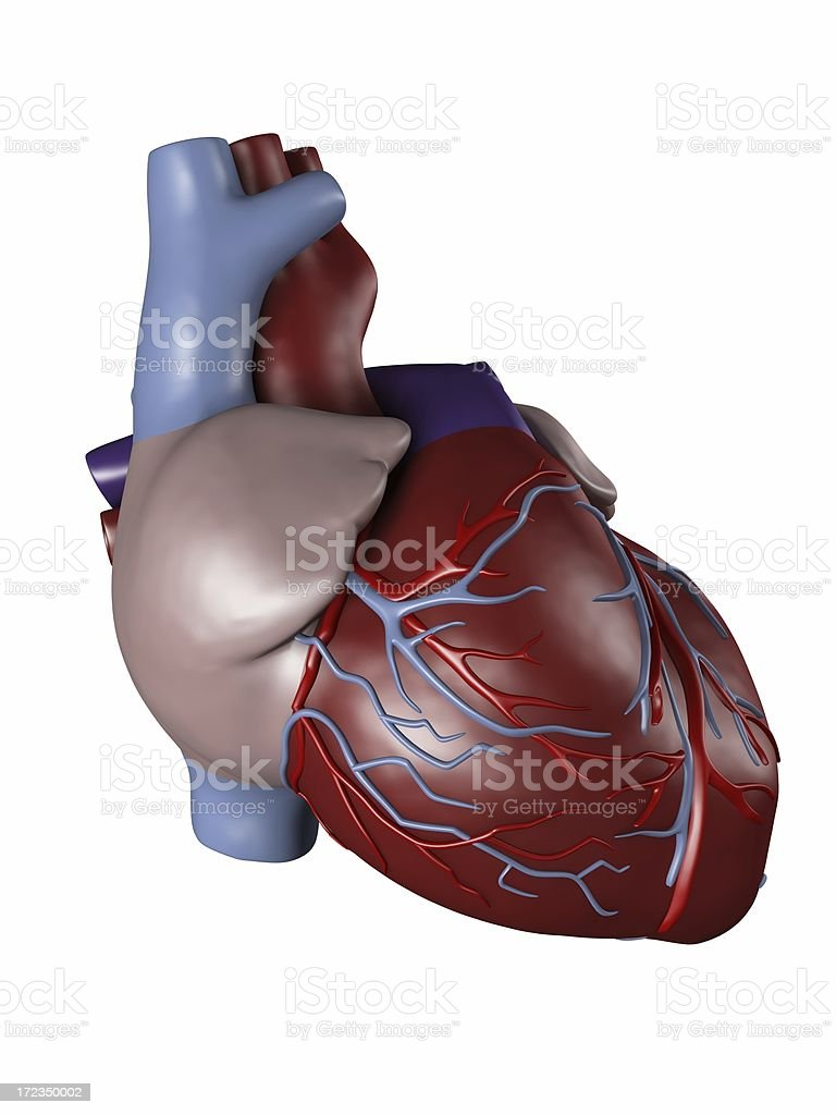 Human heart for medical study royalty-free stock photo