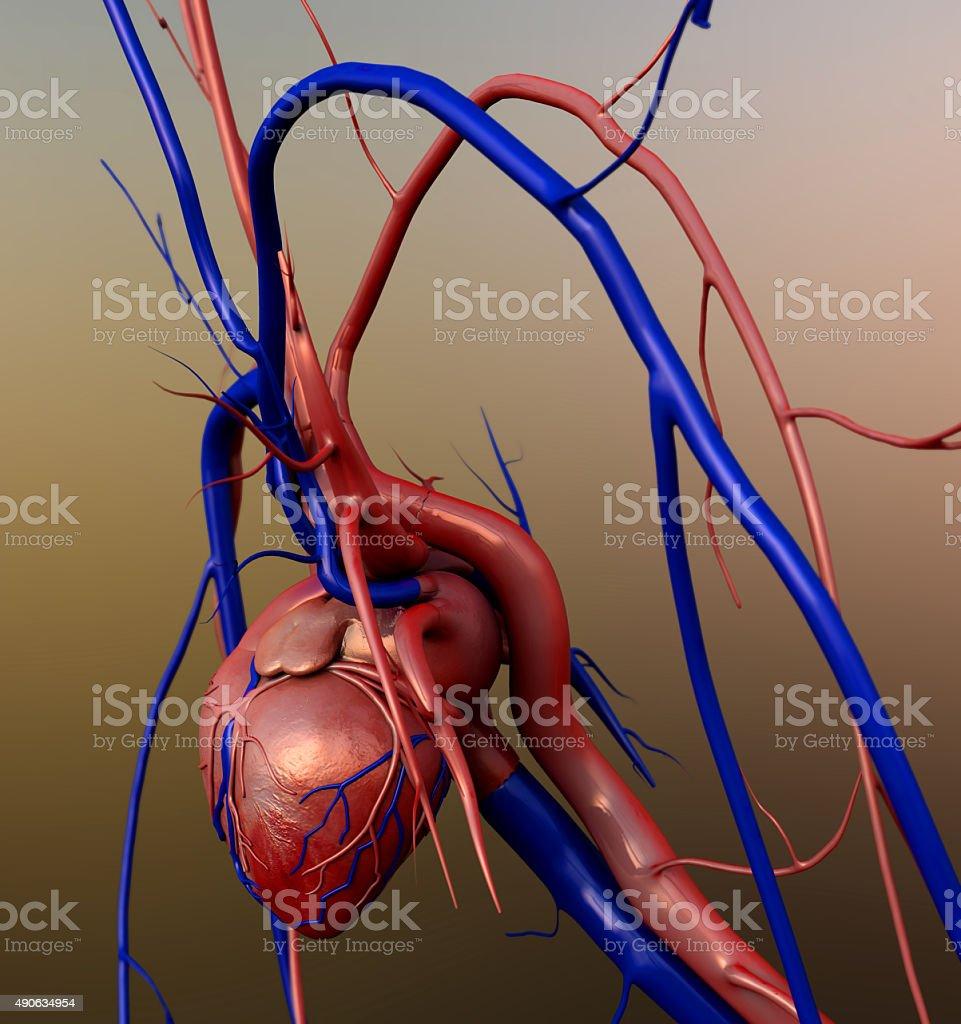 Human heart model stock photo