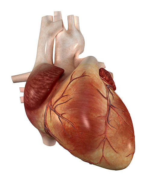 human heart pictures, images and stock photos - istock, Human Body