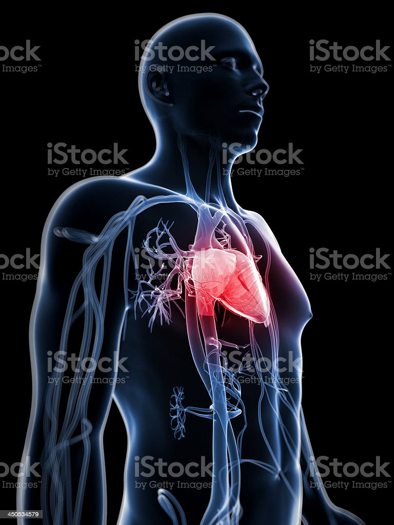 human heart royalty-free stock photo
