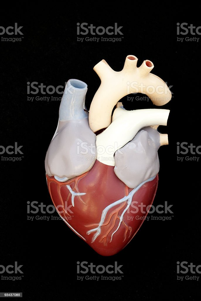 Human heart Ventral View stock photo