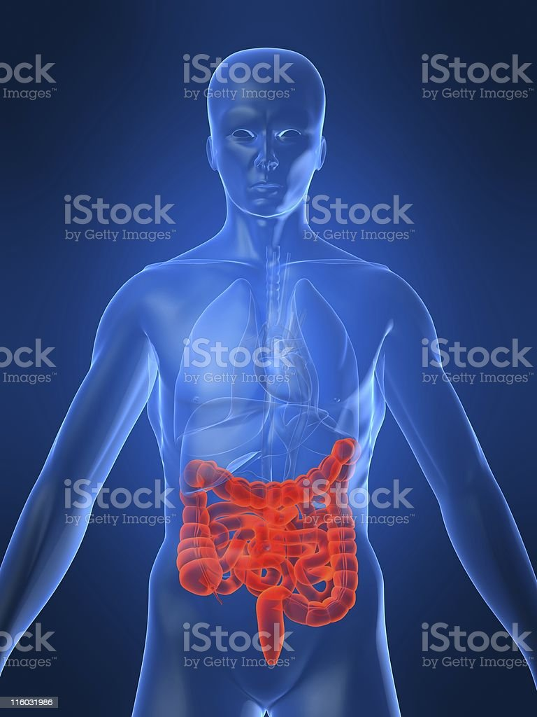 A human imaging diagram highlighting the intestines red stock photo