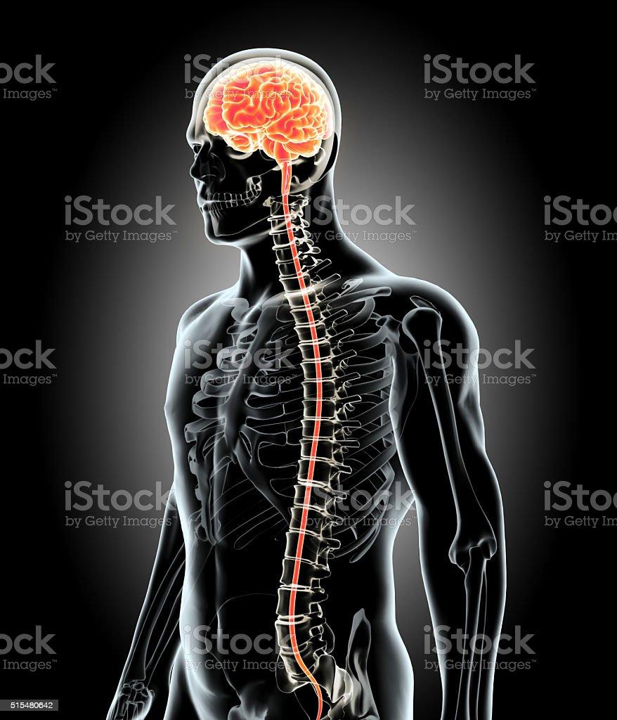 Human Internal Organic - Brain. stock photo