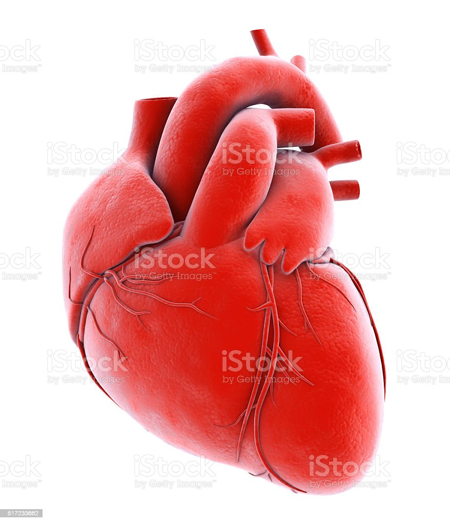 Human Internal Organic - Human Heart. stock photo