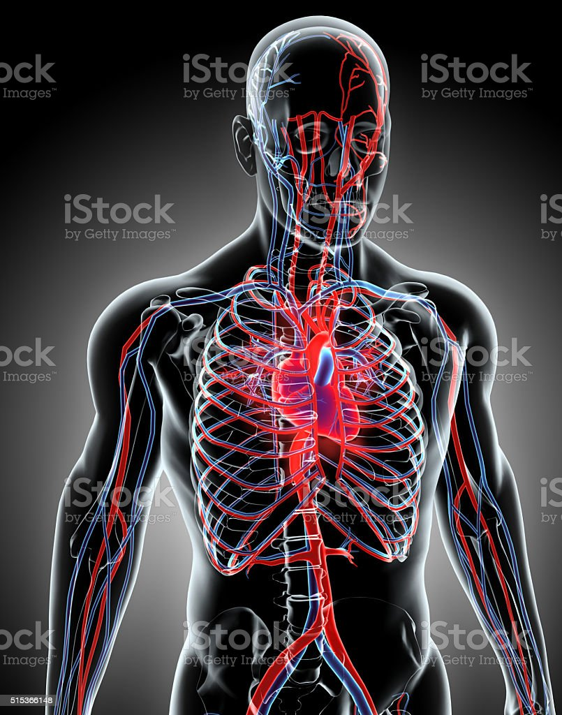 Human Internal System - Circulatory System. stock photo
