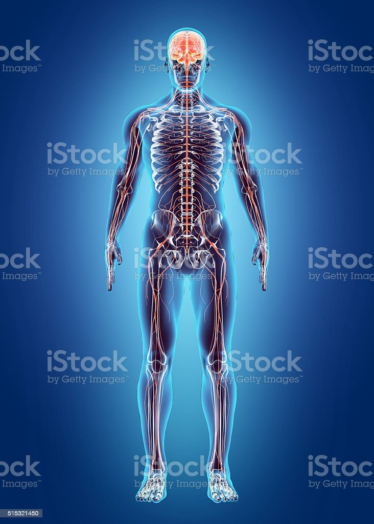 Image result for images of the human anatomy