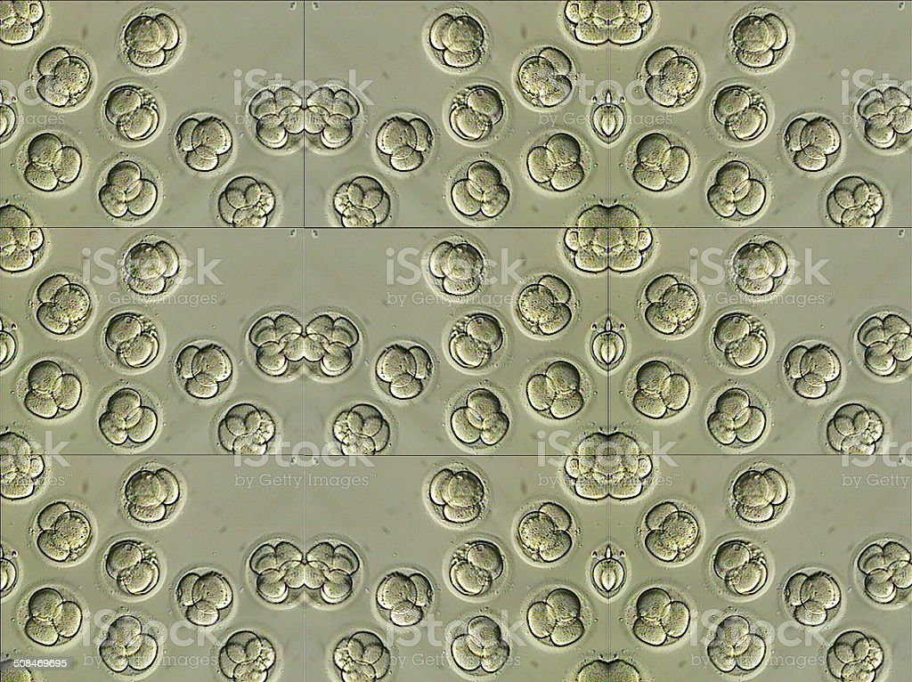 Human IVF embryos two days old mosaic stock photo