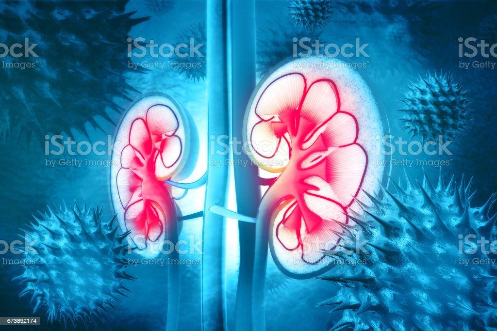 Human kidney cross section stock photo
