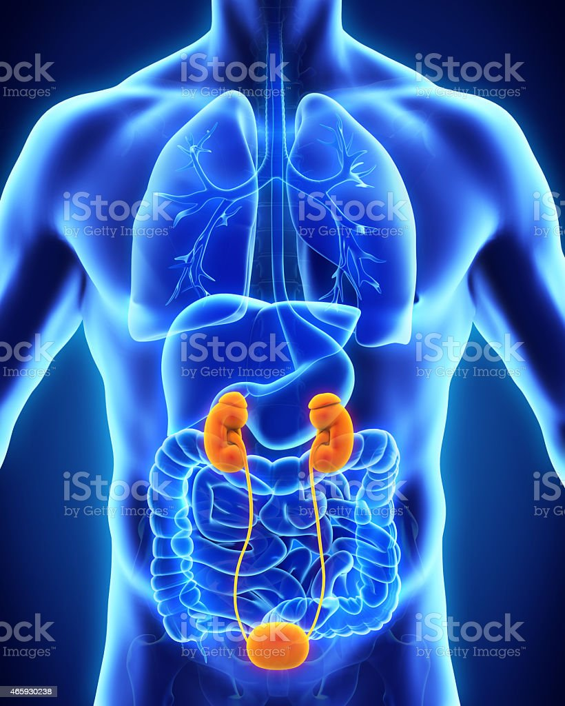 Human Kidneys Anatomy stock photo