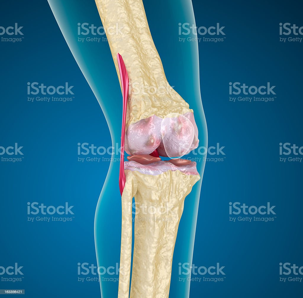 Human knee joint. royalty-free stock photo