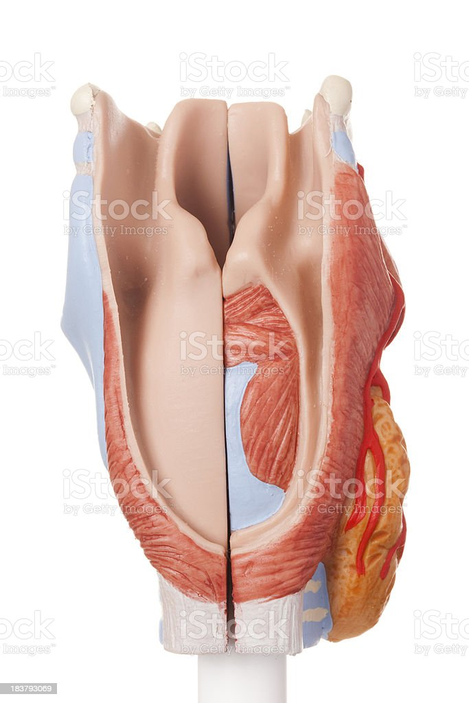 Human larynx stock photo