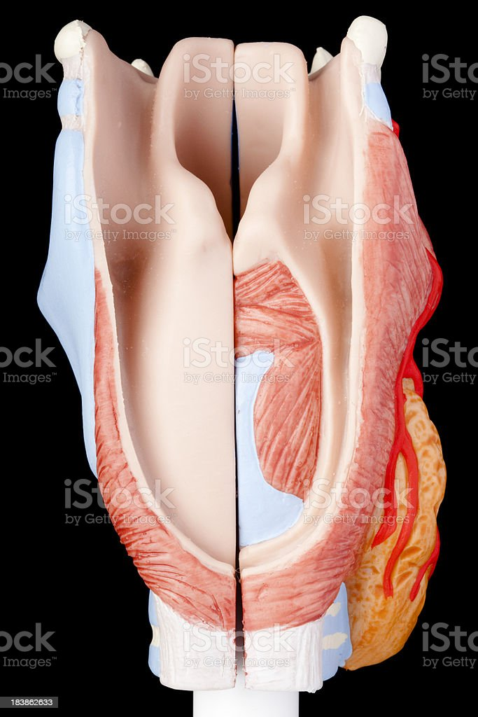 Human larynx royalty-free stock photo