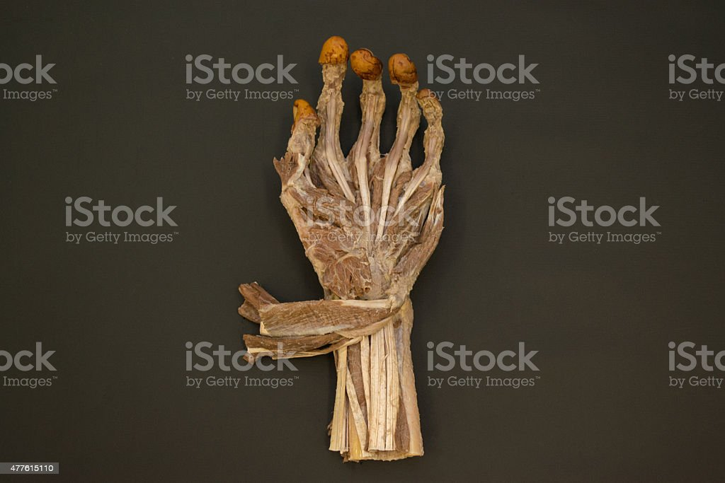 Human left hand muscles - palmar view - HD stock photo