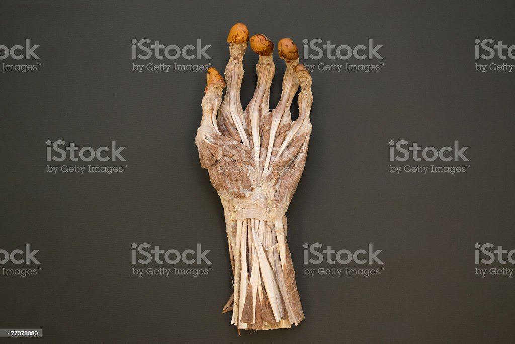 Human left hand muscles - palmar view - HD Resolution stock photo