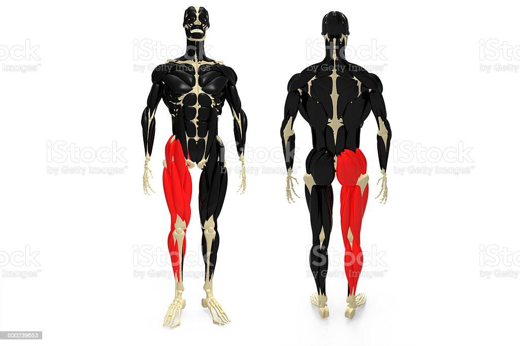 human Leg Muscle royalty-free stock photo