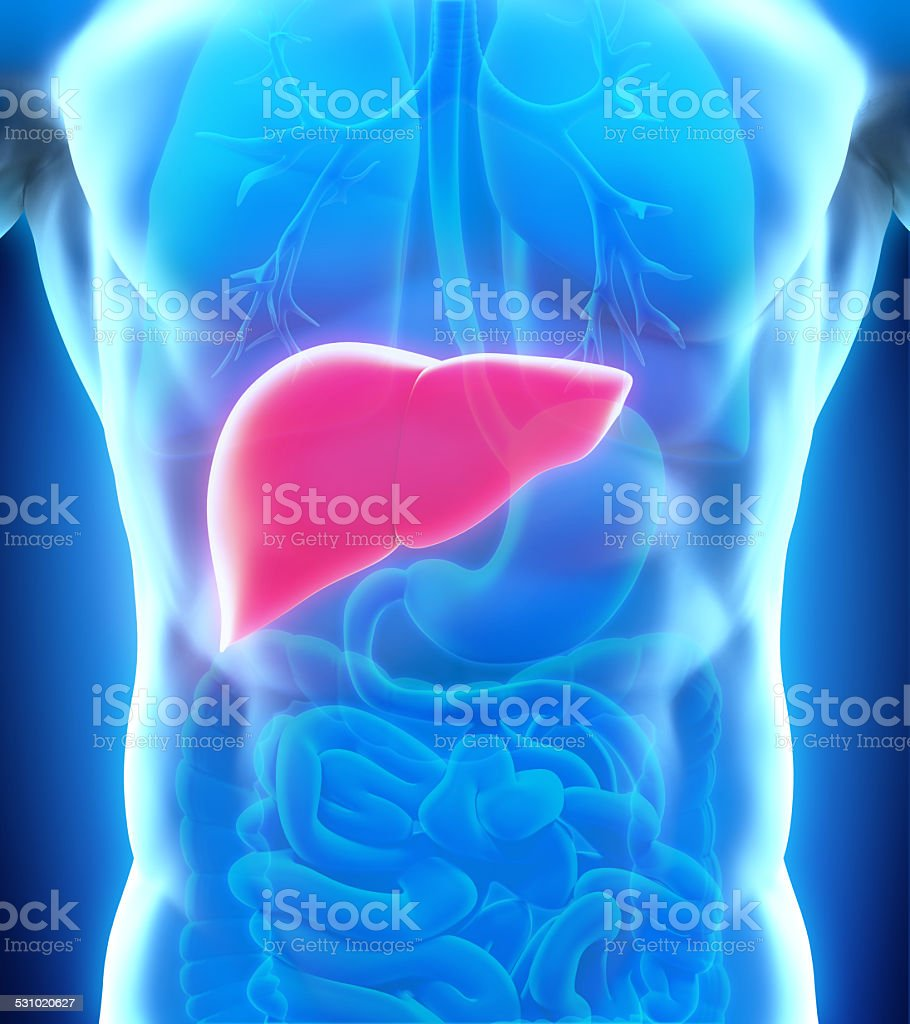 Human Liver Anatomy stock photo