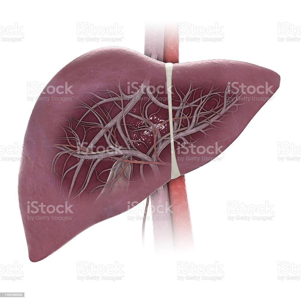Human Liver royalty-free stock photo
