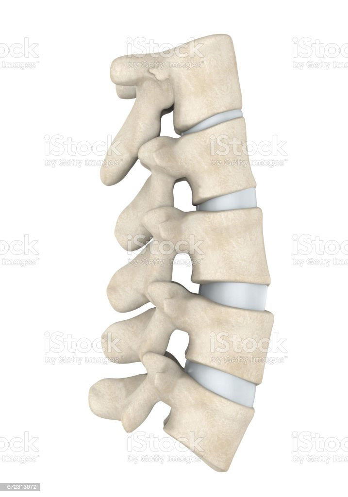 Human Lumbar Spine Anatomy Isolated stock photo