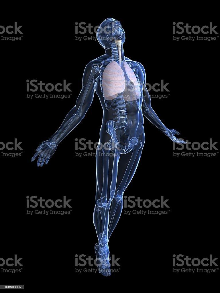 human lung stock photo