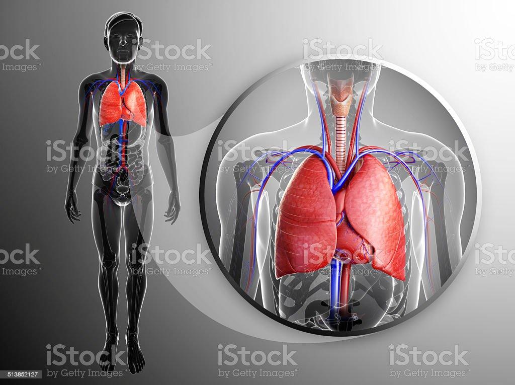 Human lungs anatomy stock photo