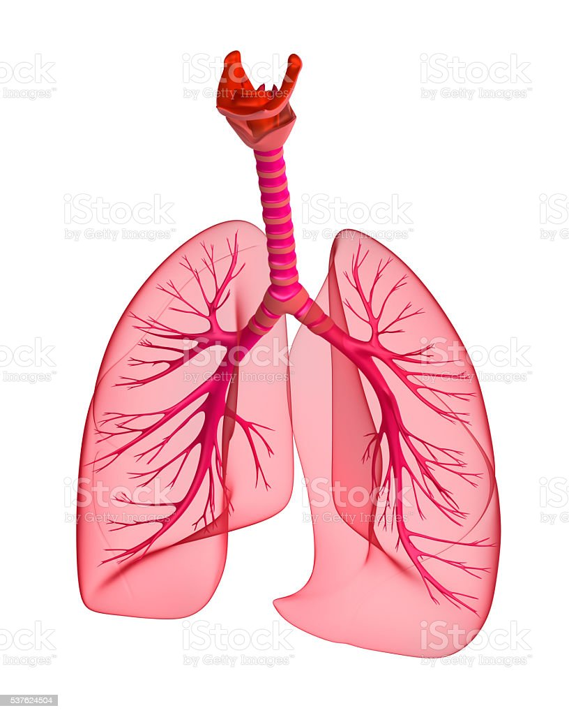 Human lungs and trachea. 3d render stock photo
