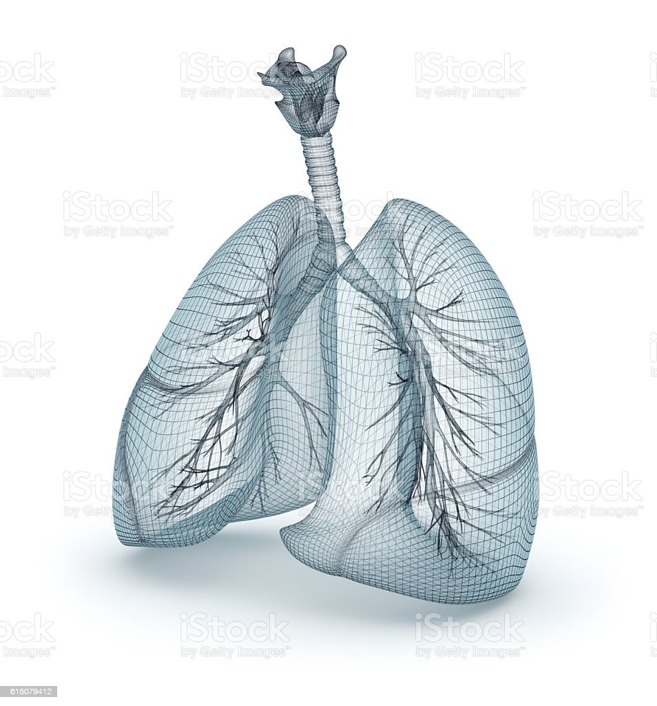 Human lungs and trachea. Wire model, 3D illustration stock photo