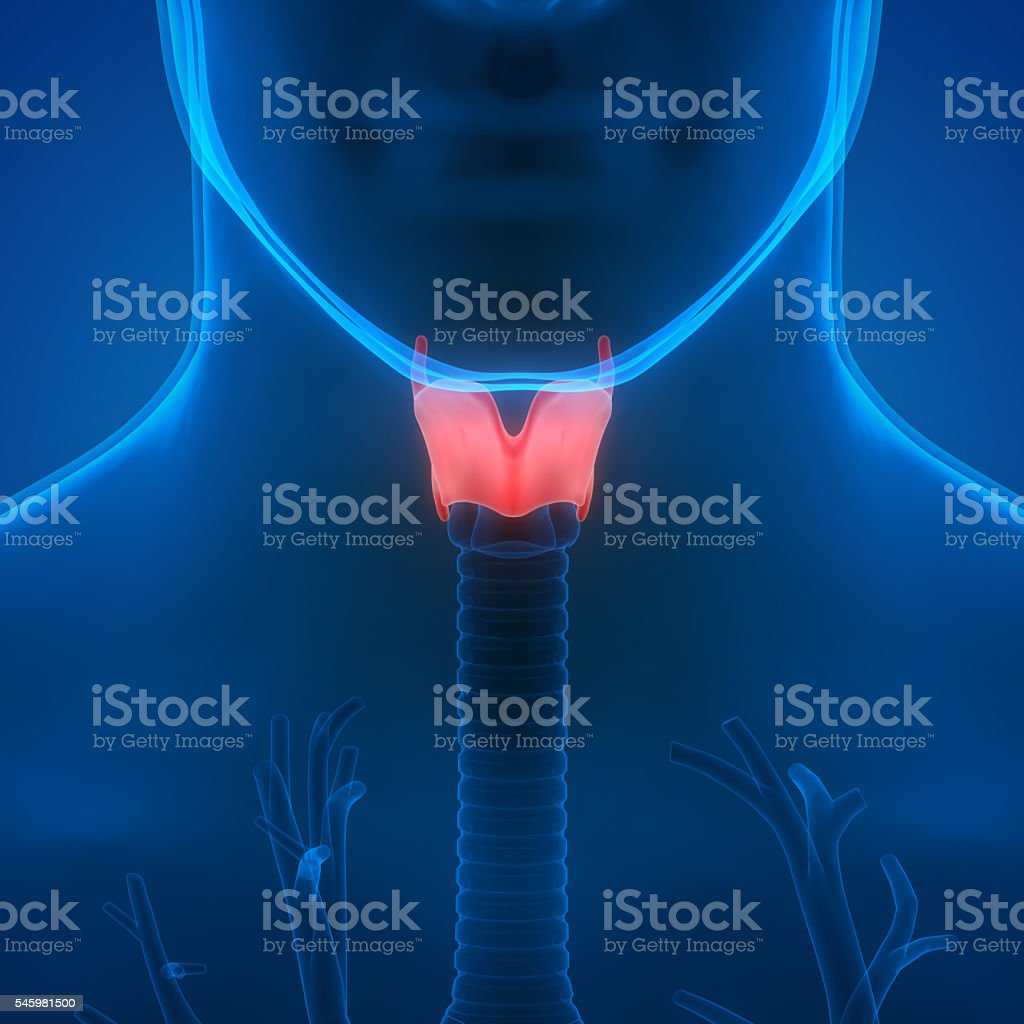 Human Lungs Inside Anatomy (Larynx, Trachea, Bronchioles) stock photo