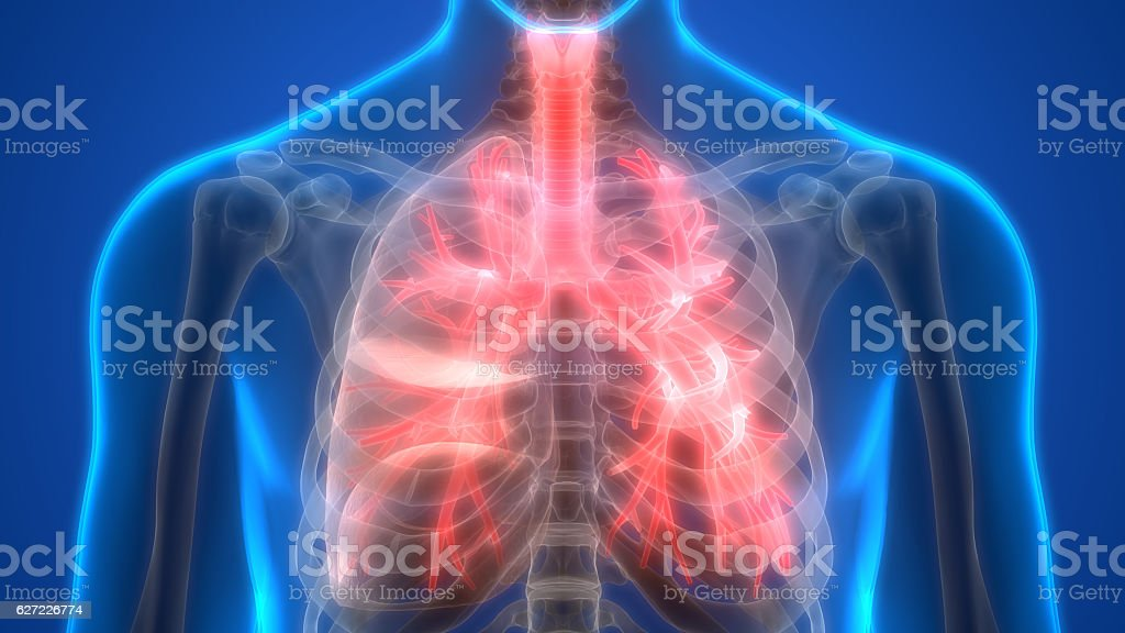Human Lungs Inside Anatomy (Larynx, Trachea, Bronchioles) stock photo