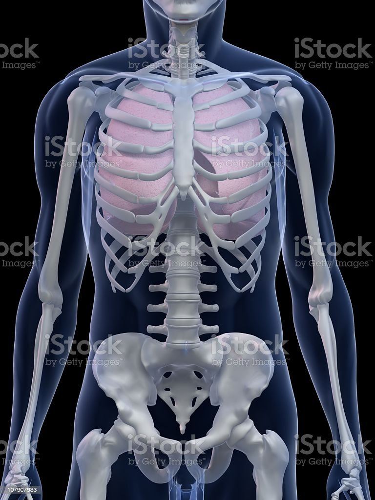 Human lungs royalty-free stock photo