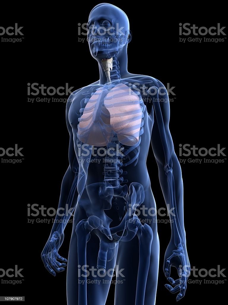 Human lungs stock photo
