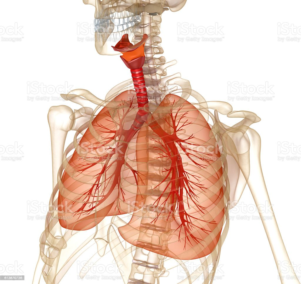 Human lungs, trachea and skeleton. stock photo