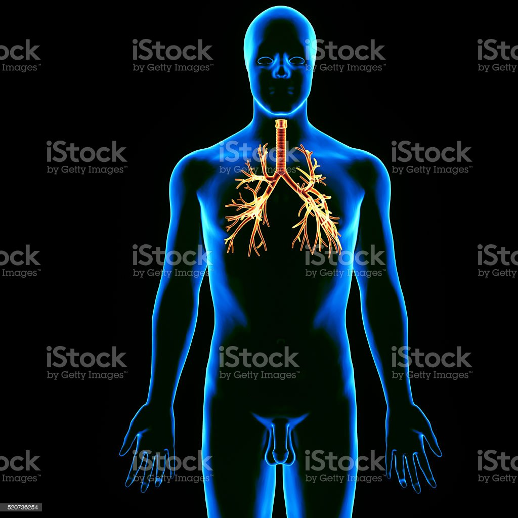 human lungs trachea stock photo