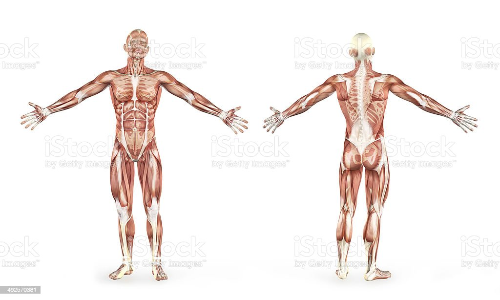 Human male muscles anatomy stock photo