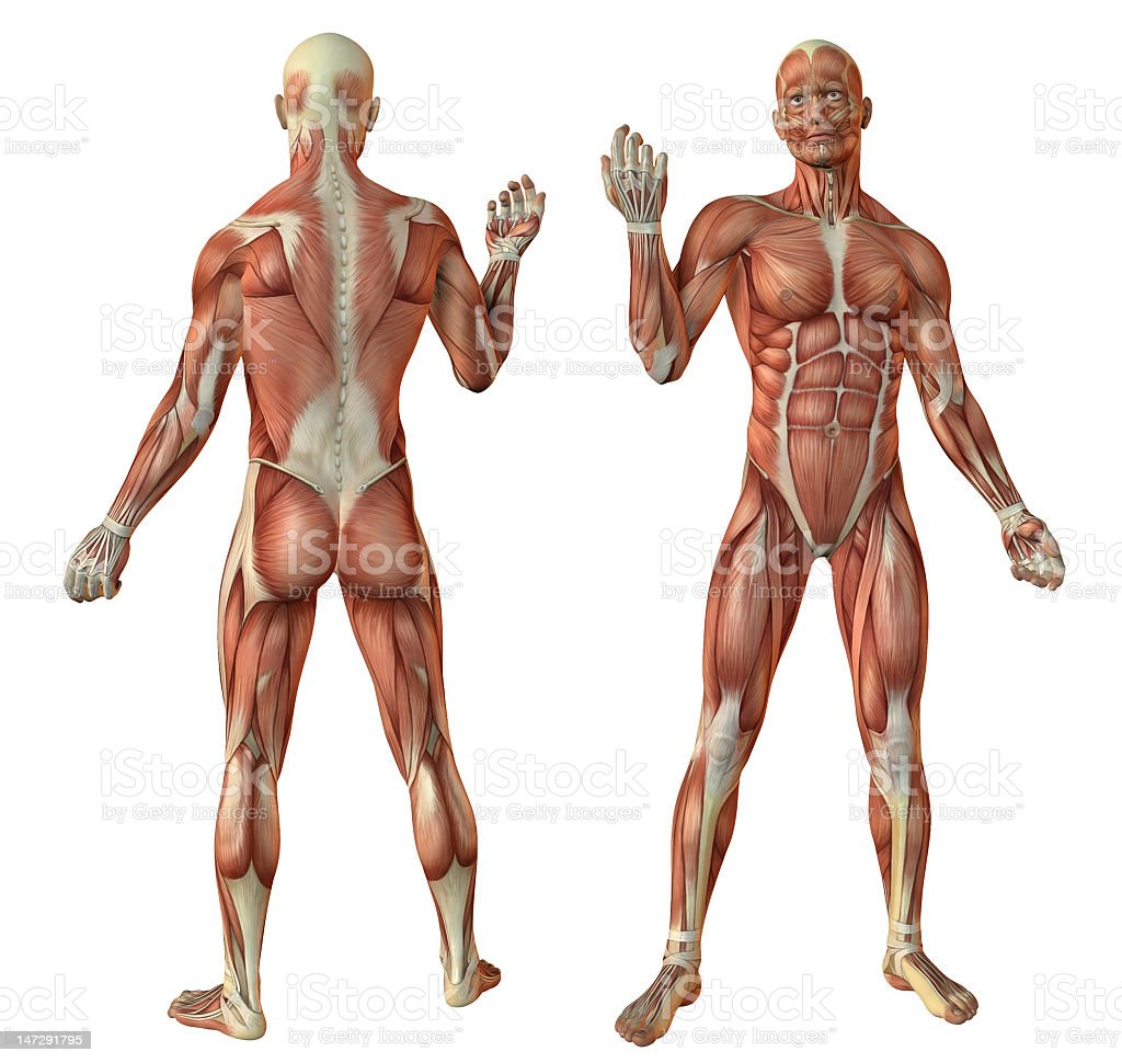 human muscles anatomy stock photo