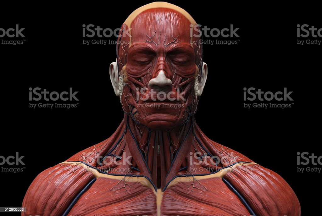 human muscular structure stock photo 512906558 | istock, Muscles