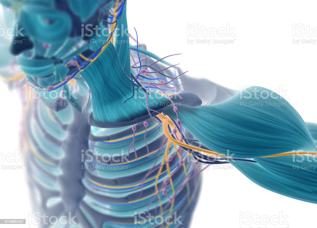 Human muscular vascular, lymphatic and nervous system. Xray like image. stock photo