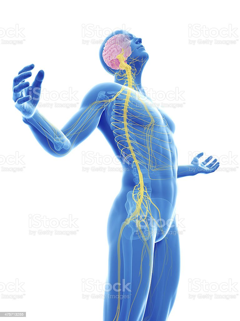 human nerves stock photo