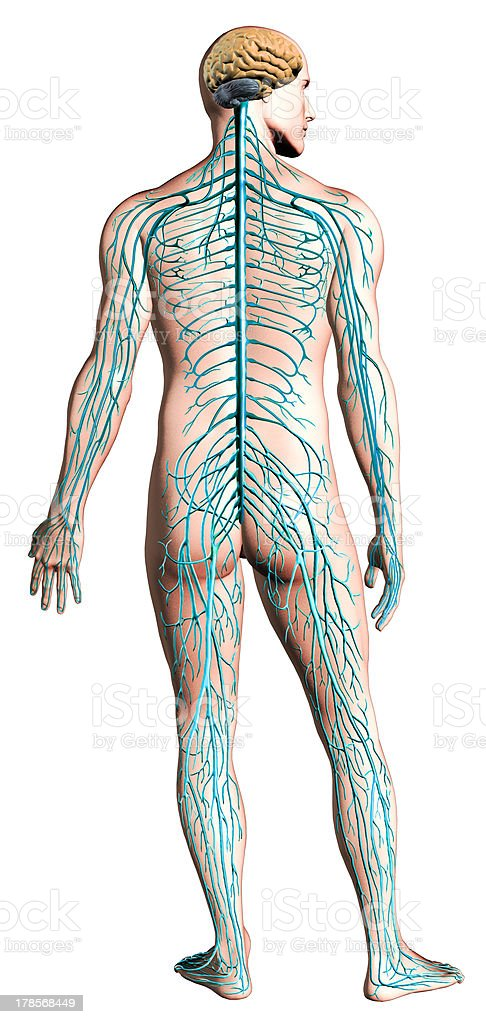 Human nervous system diagram. Anatomy cross section, clipping path included. stock photo