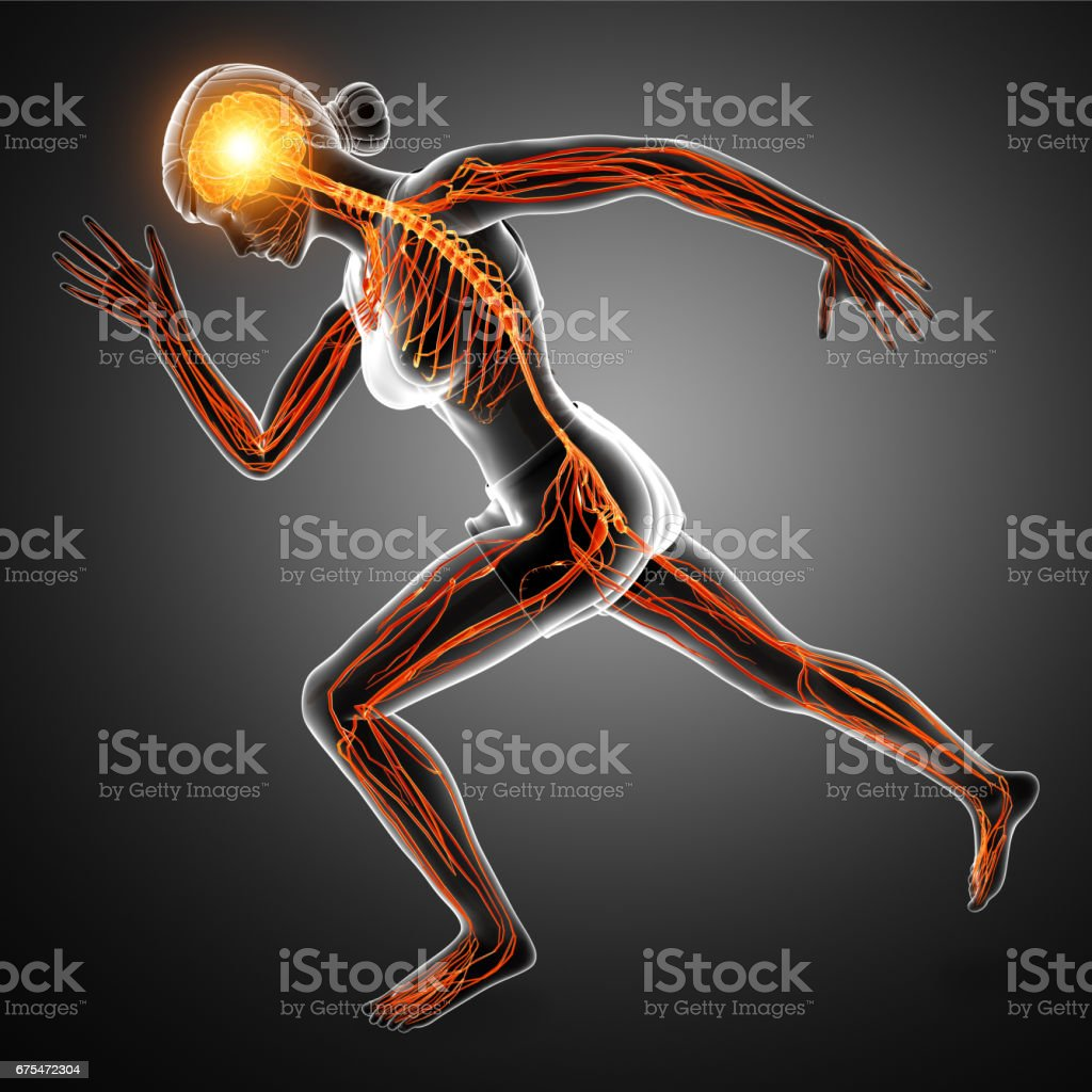 Human Nervous System vector art illustration