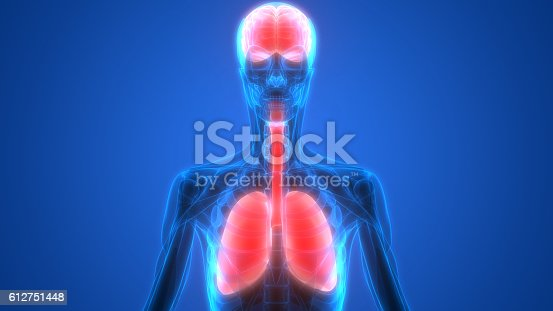 human organs lungs and brain with muscles anatomy stock photo, Muscles