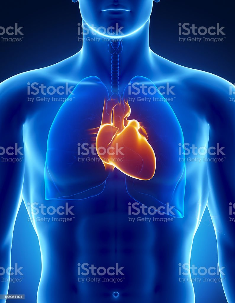 Human heart with respiratory system stock photo