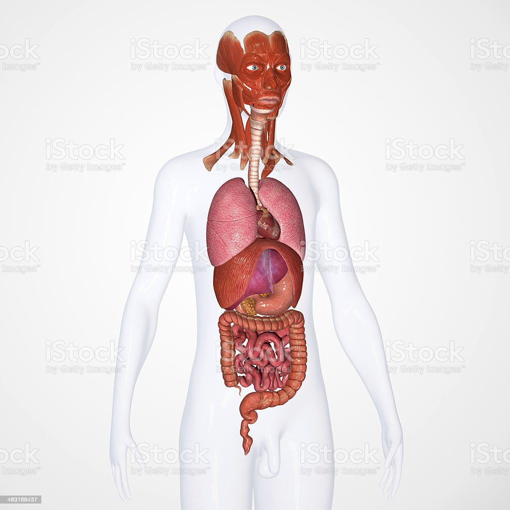 Human organs with face muscles royalty-free stock photo