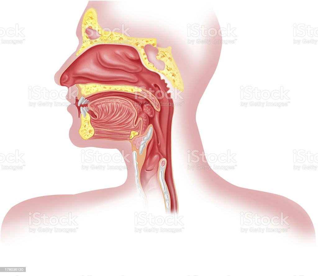 Human respiratory system cross section, head part stock photo